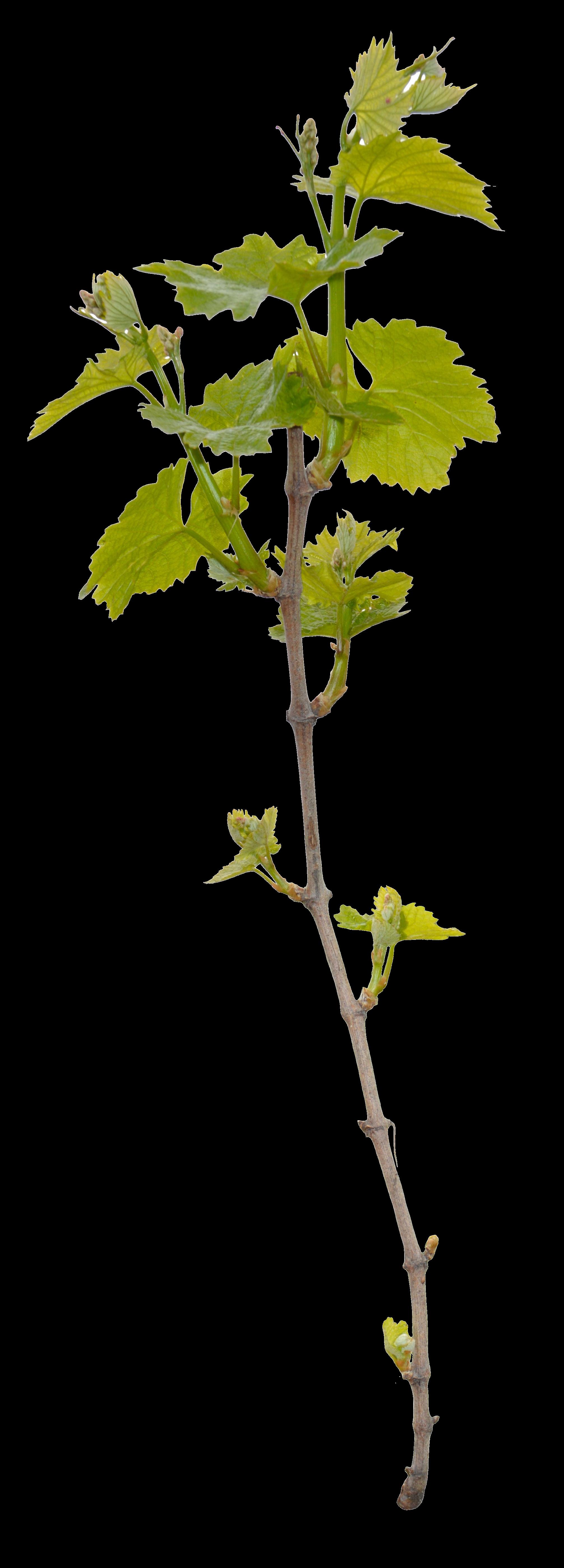 Acotonia