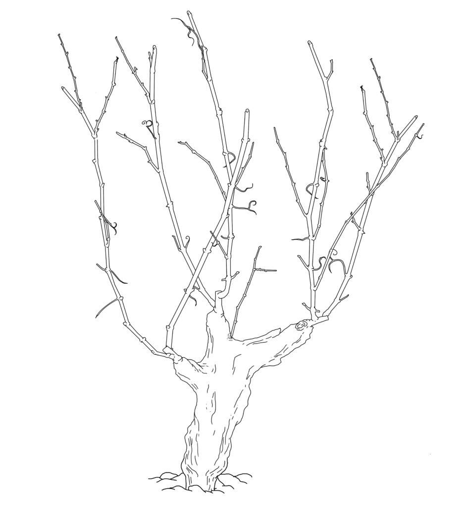 Alberello Goblet dessin
