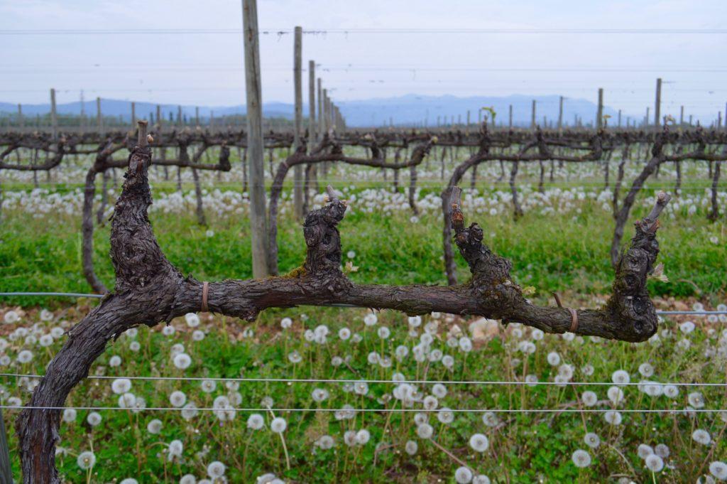 Cordone Speronato punti vegetativi