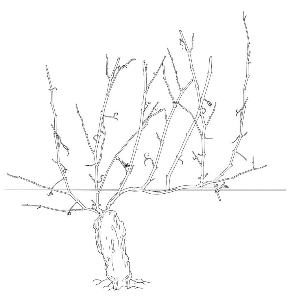 Guyot dessin